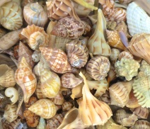 sara-daren-shells-sanibel-1